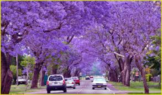 The jacarandas trees in flower is a sight to see early in spring when the jacaranda trees are in flower, this may or may not be New Farm Park but sure it looks very much like it is.