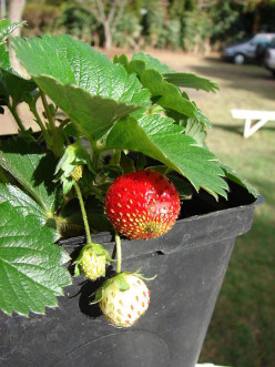 Here is a potted strawberry plant that was grown in a nursery that sells strawberry plants.