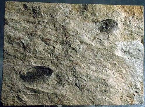 Trilobite fossils from Murero.