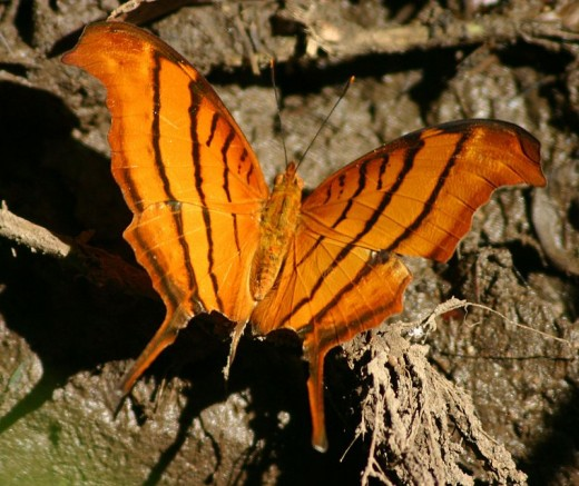 Tailed flambeau butterfly.