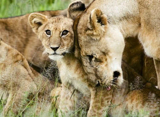 A lion cub and mother.