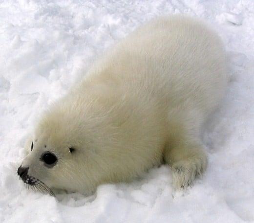 A harp seal pup.