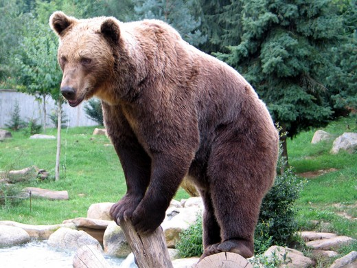 Brown bear (Ursus artos).