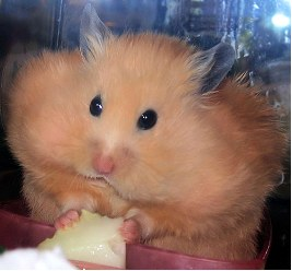 A hamster with its check pouches full of food to be stored.