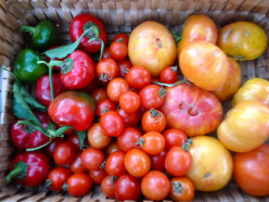 Do you have a favorite home grown tomato? Why should I grow it?