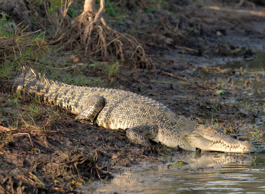 Saltwater Crocodile.