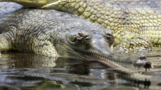 Rare croc, the Gharial