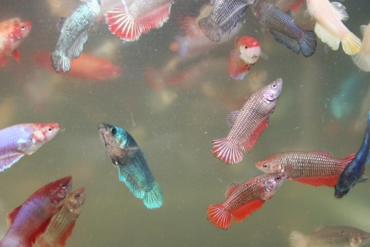 11 pets with a 5 year lifespan or less pethelpful for Lifespan of a betta fish in captivity