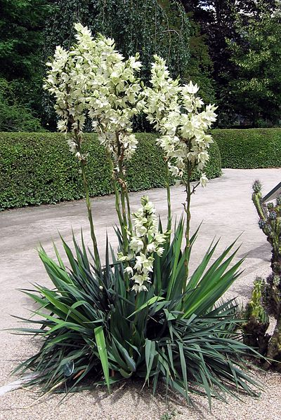 Yucca in landscaping