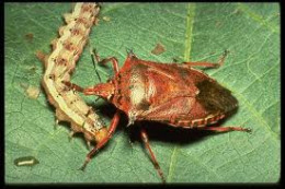 Soldier Bug