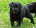 English Labrador Retrievers: Weeks Seven and Eight