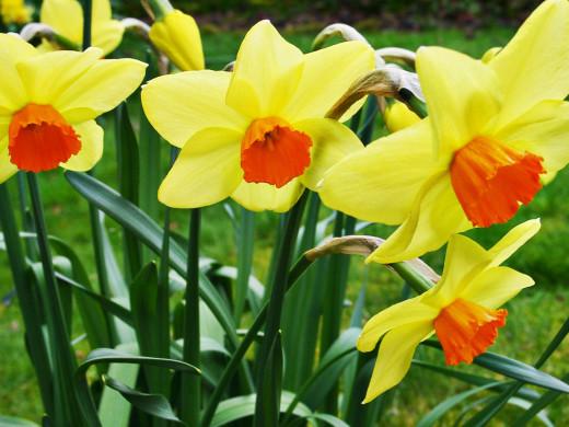 Colorful daffodils