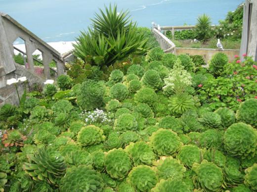 Succulent garden still thriving beside the ruined warden's house.