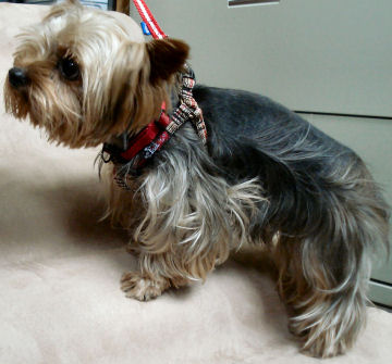 Jack, a one-eyed rescued Yorkie, trying out the Companion Ramp and sporting his new harness at our shop.