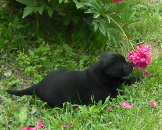 What a pretty picture! Ziva and a beautiful Peony in our yard.