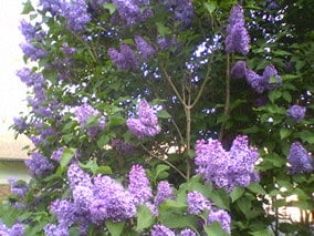 A bush of Lilacs in my front yard. Lakewood, WA