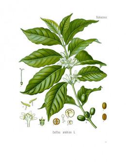 Mountain coffee, Coffea arabica.