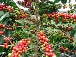 Ripe coffee berries.