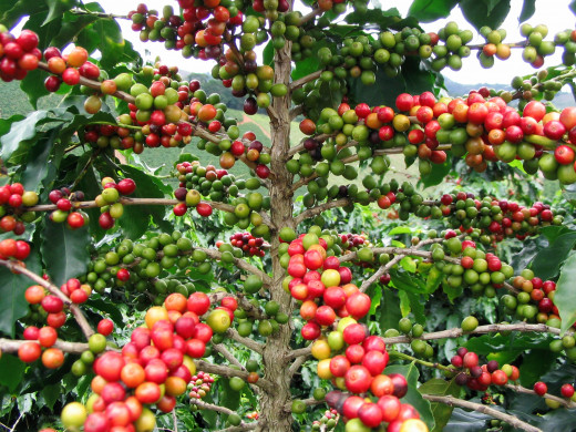 Ripe coffee berries.