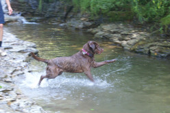 Why do Labradors love water more than any other dog breed?