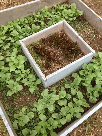 Radishes and romaine lettuce in our vegetable garden.  These are very easy to grow!