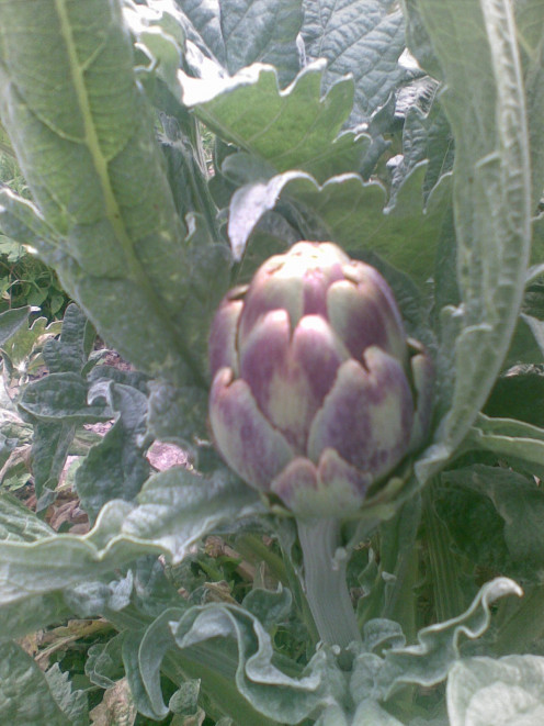 Artichoke for the new season.