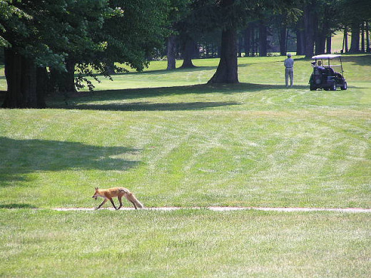 A fox casually strolling through a golf course.