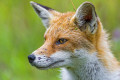 Fox Tales: True Stories from Real People about Wild Foxes