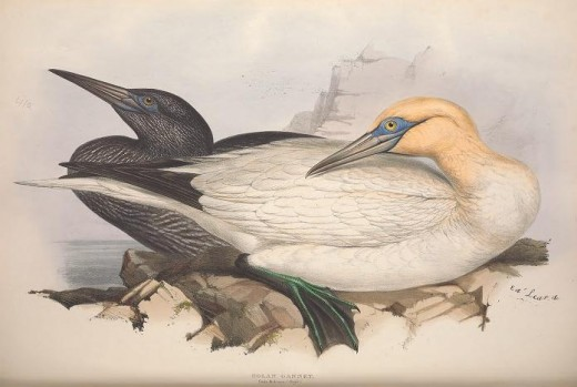 Birds of Europe { Gould} 1837
