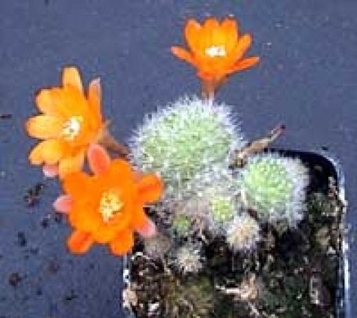 Rebutia Flowering