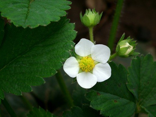 Strawberries bloom into a flower which later turns into the fruit.