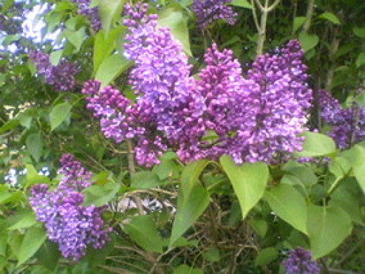 Lilacs Beautiful Lilacs