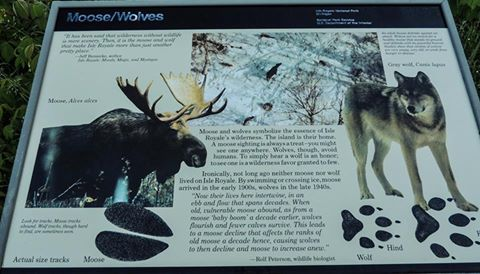 Wolves vs. Moose
