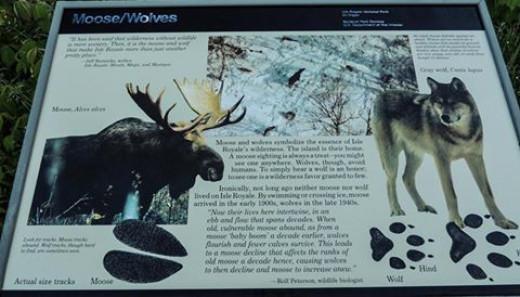 Wolves vs. Moose