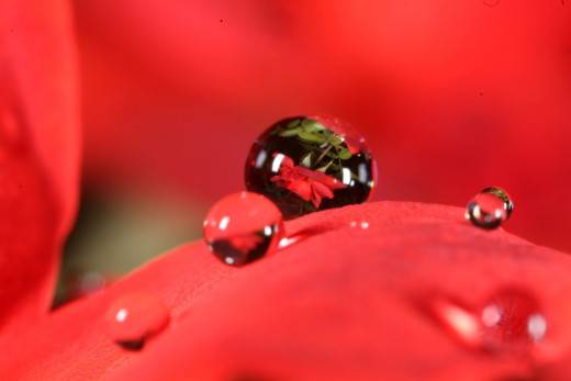 Water drop on a Red Rose.