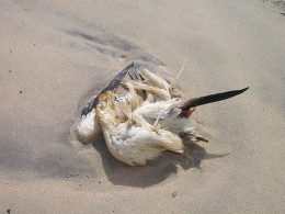 Unfortunately many young gannets do reach maturity