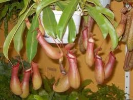 A Pitcher Plant can make an excellent addition to your hanging garden.