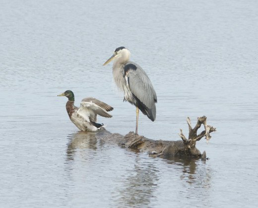 Eclipsed Mallard Male and Great Blue Heron(front)