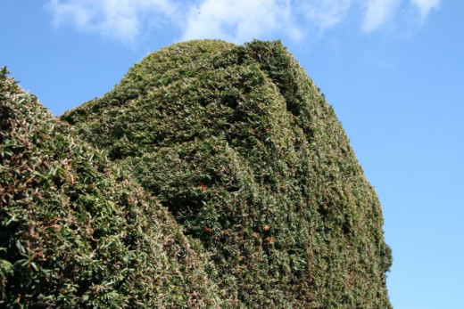 You can add height and interest to a hedge by selective trimming.