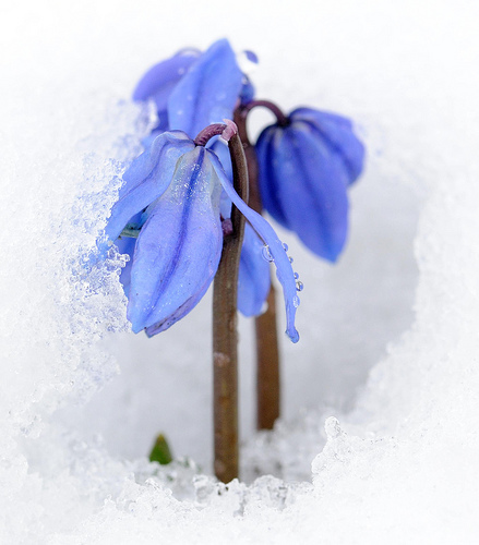 chinodoxa in snow by r-and-b flickr/3152