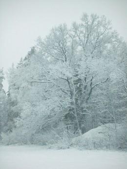 Oak in winter, near Lake Aspen in Tumba Sweden by Phoenixdolphin