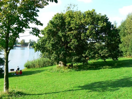 The Council Oak in late summer, Coate Water, Swindon by Brian Robert Marshall