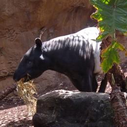 A Tapir at Taronga Zoo. Sydney, Australia.