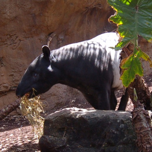 A Tapir at Taronga Zoo. Sydney, Australia.