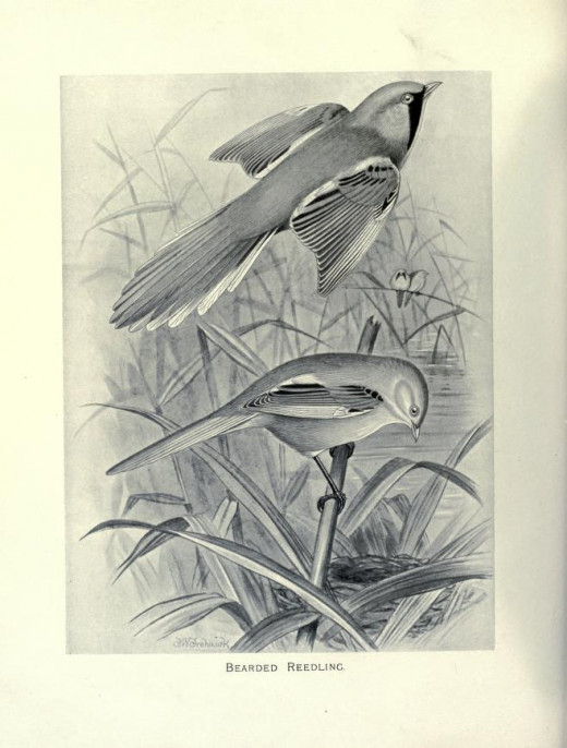 Butler 'British Birds with their Nest and Eggs' 1896-98.