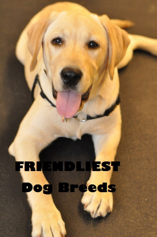 Seven Friendliest Dog Breeds