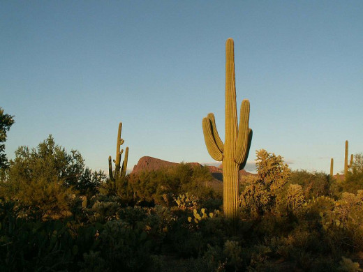 Imagine how old these Saguaro cacti must be!