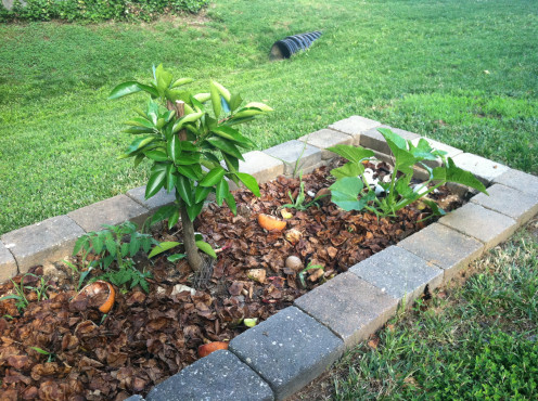 May 31: Compost pile and orange tree - notice the volunteer tomato (left) and squash (right).