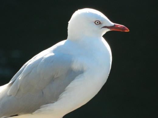 Sea gull cropped