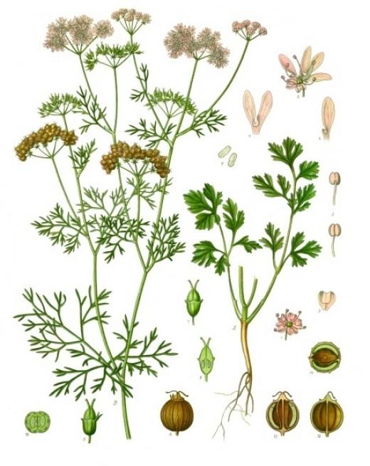 Kohler's Medizinal Pflanzen
